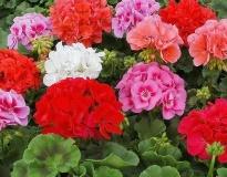 Садовая и комнатная герань: уход, выращивание и фото