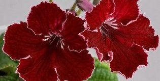 Неприхотливый стрептокарпус: как выращивать цветок, и какие условия ему нужны для ухода?