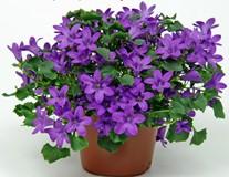 Посадка, уход и размножение цветка кампанула в домашних условиях