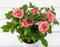 Особенности ухода за комнатной розой: как пересадить и не допустить увядания