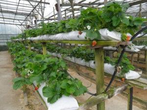Клубника на гидропонике – технология выращивания