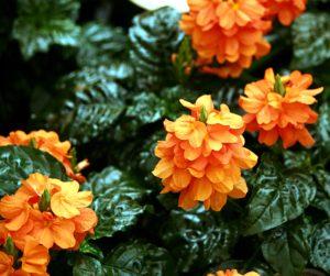 Описание и фото цветка
