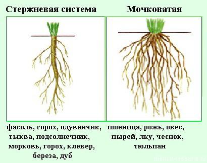 Строение корня однодольных и двудольных растений