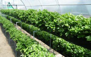 Методы выращивания клубники