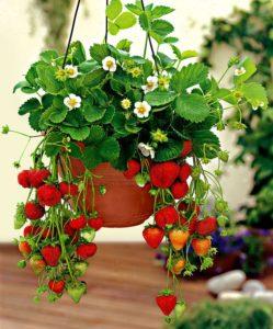 Сорта клубники, подходящие для выращивания в гидропонике