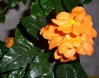 Кроссандра: фото цветка, разновидность и уход в домашних условиях