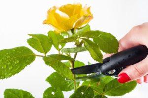 Как правильно обрезать комнатную розу