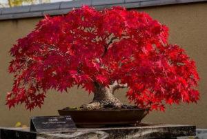 Как вырастить из семян красный клен бонсай