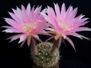 Фото кактуса эхинопсис
