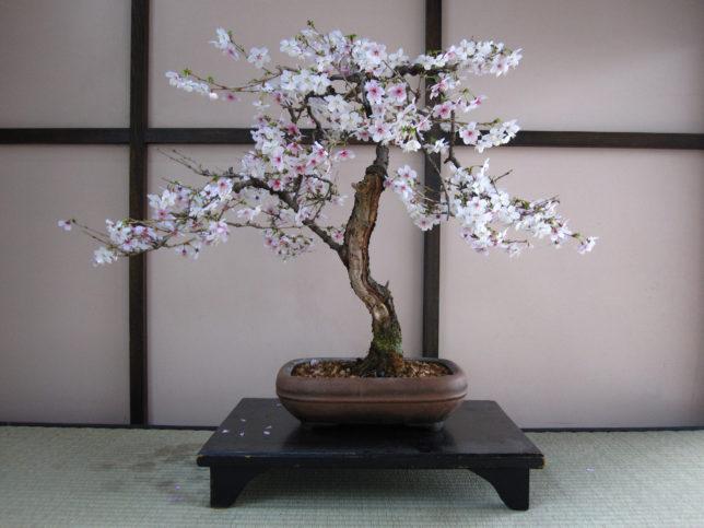 Японский бонсай фото