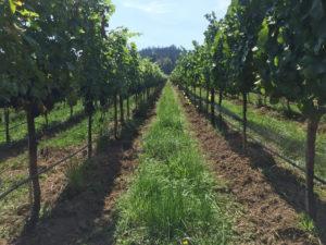Фертигация винограда