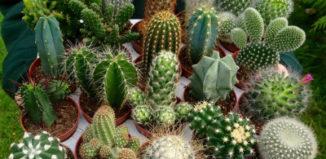 Популярные виды комнатных кактусов: фото и описание