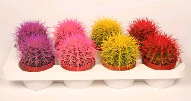 Радужный эхинокактус фото