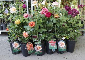 Розы - посадочный материал с закрытой корневой системой