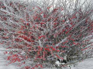Выращивание и уход за барбарисом: зимовка