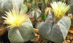 Комнатные растения Астрофитум тысячекрапинковый (мириостигма)