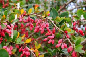 Декоративные деревья и кустарники: барбарис обыкновенный