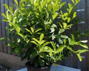 Комнатное растение благородный лавр