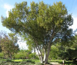 Дерево благородный лавр в естественной среде