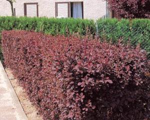 Как садить барбарис Helmond Pillar в виде изгороди