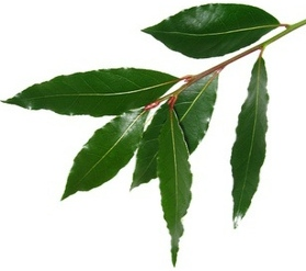 Листья благородного лавра
