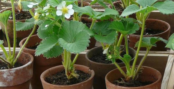 Применение удобрения Нитроаммофоска для рассады клубники