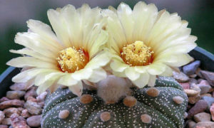 Популярные виды комнатных кактусов