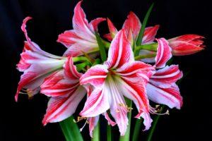 комнатный цветок Гиппеаструм - уход в домашних условиях: посадка и выращивание