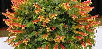 Домашний цветок Колумнея - особенности ухода и выращивания
