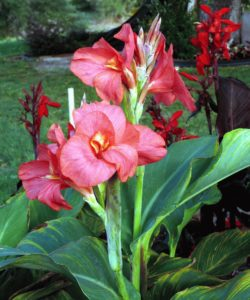 канна цветок в саду фото