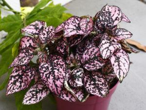 комнатное растение Гипоэстес - виды, фото, уход в домашних условиях, посадка.