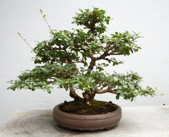 Лигуструм— Бирючина китайская