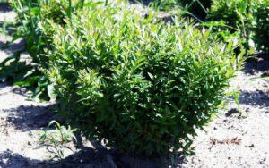 бирючина для живой изгороди
