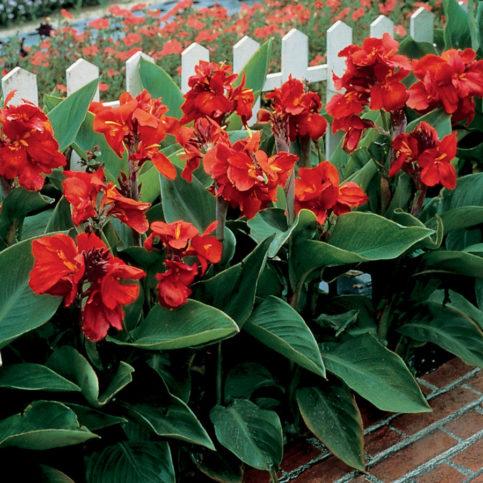 цветы канны фото в саду