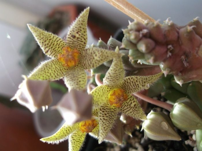 Стапелия - описание, виды, фото, уход в домашних условиях, размножение