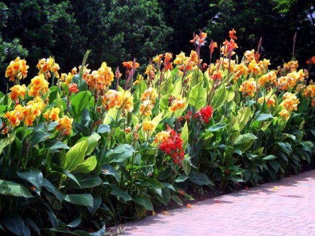 цветы канны посадка