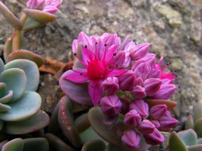 очиток фото цветов