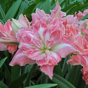Комнатный цветок Гиппеаструм Pretty Nymph