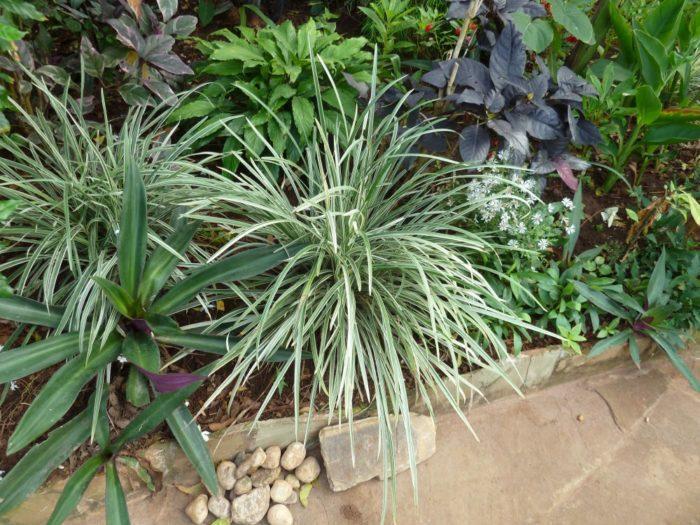 Уход и посадка растения Офиопогон на подоконнике и в открытом грунте