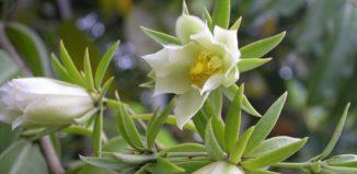Южное растение Переския - виды, фото, посадка и уход в домашних условиях