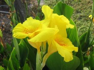 теплолюбивый цветок Канна - как правильно выращивать в домашних условиях и в саду?