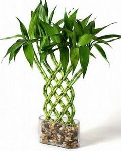 Как правильно вырастить бамбук в домашних условиях