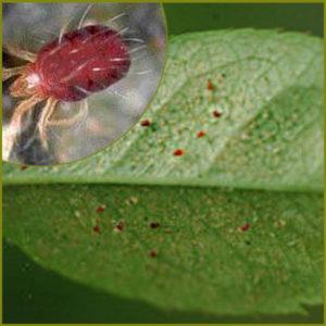 Как выглядит паутинный клещ на комнатных растениях?