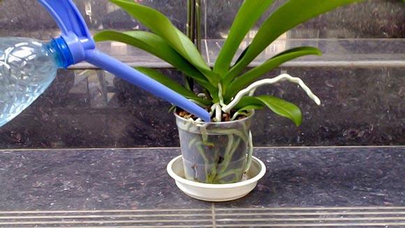 Как поливать цветы янтарной кислотой