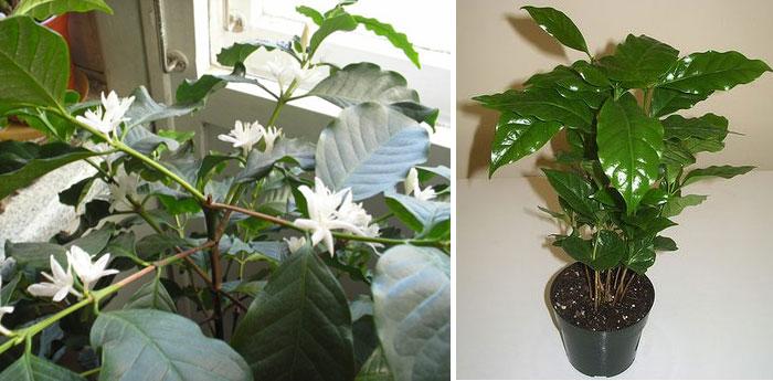 Как ухаживать за комнатным растением кофе