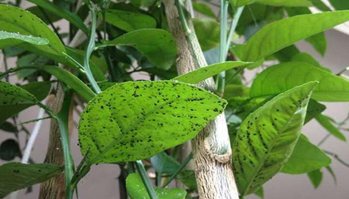 Как выглядит тля на комнатных растениях (фото)
