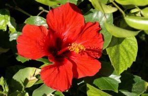 Гибискус суданская роза (каркаде)