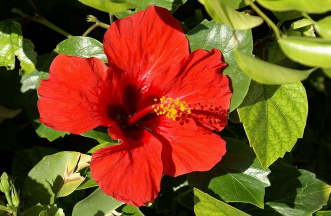 Гибискус суданская роза (каркаде): фото