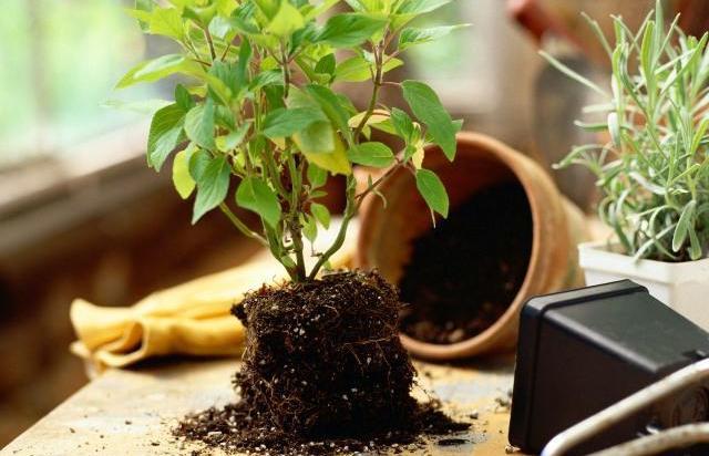 Цветок Азалия: уход и выращивание в домашних условиях
