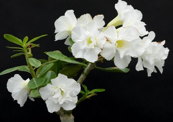 Цветы адениум Double Blooming White : фото